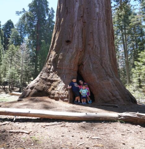Giant Sequoia With My Boys
