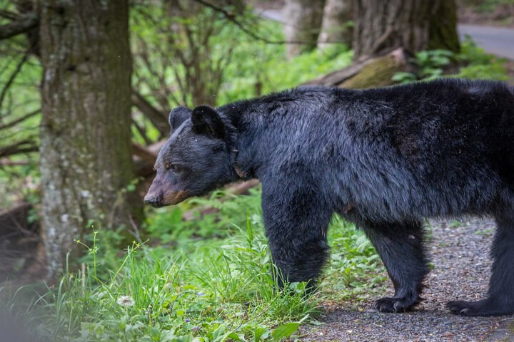 Black Bear Cades Cove GSMNP