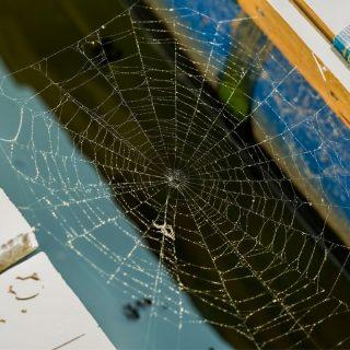 dock spiders